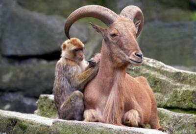 Monkey Nurtures Mountain Goat